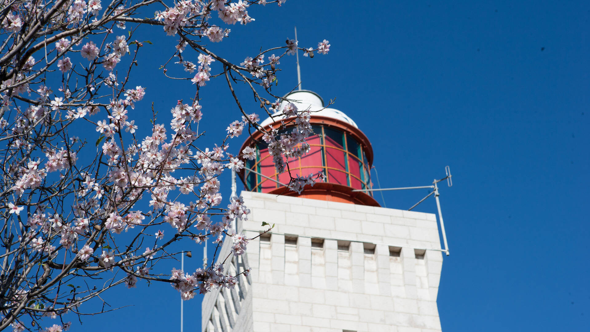 Garoupe lighthouse and almond tree in flowers
