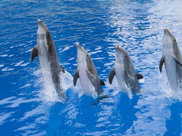 Dauphins © Marineland