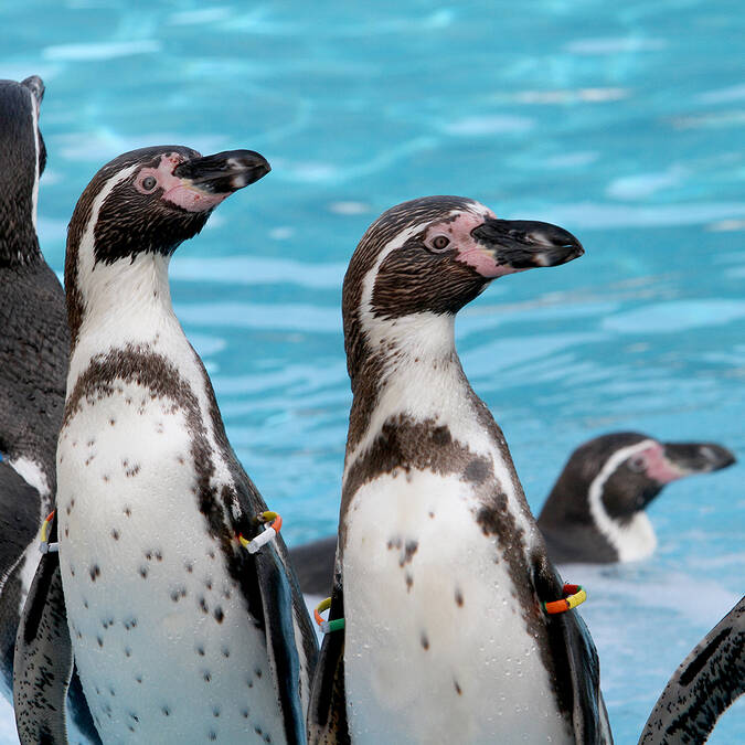 Penguins of Humboldt ©Marineland