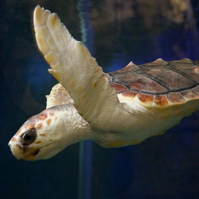 Tortue Couanne ©Marineland
